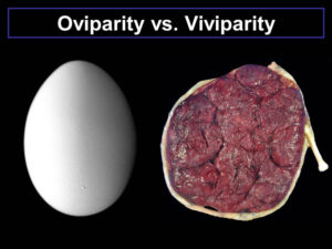A fundamental difference between oviparity and viviparity.